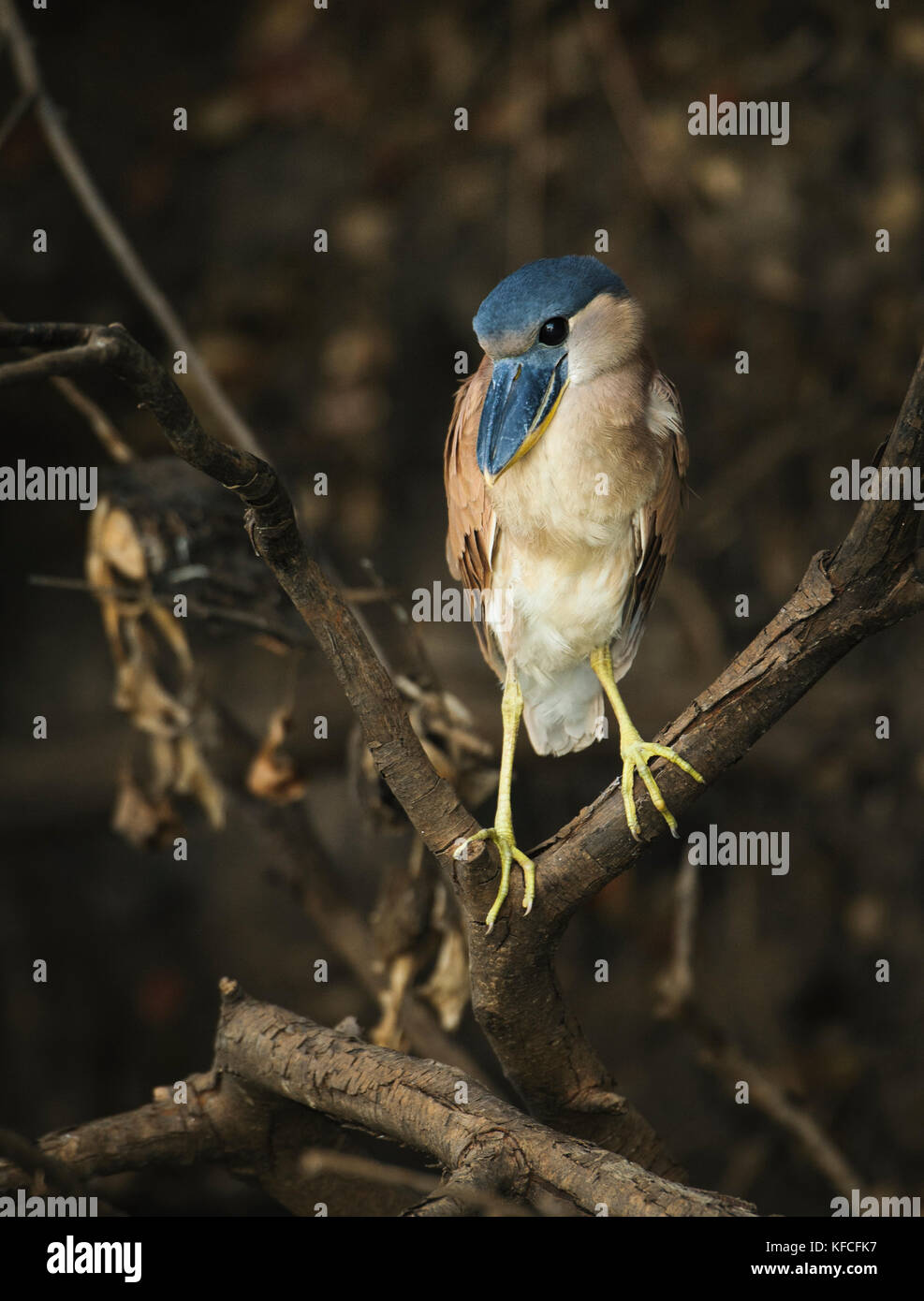 A Boat-billed Heron (Cochlearius cochlearius) from South Pantanal, Brazil - Stock Image