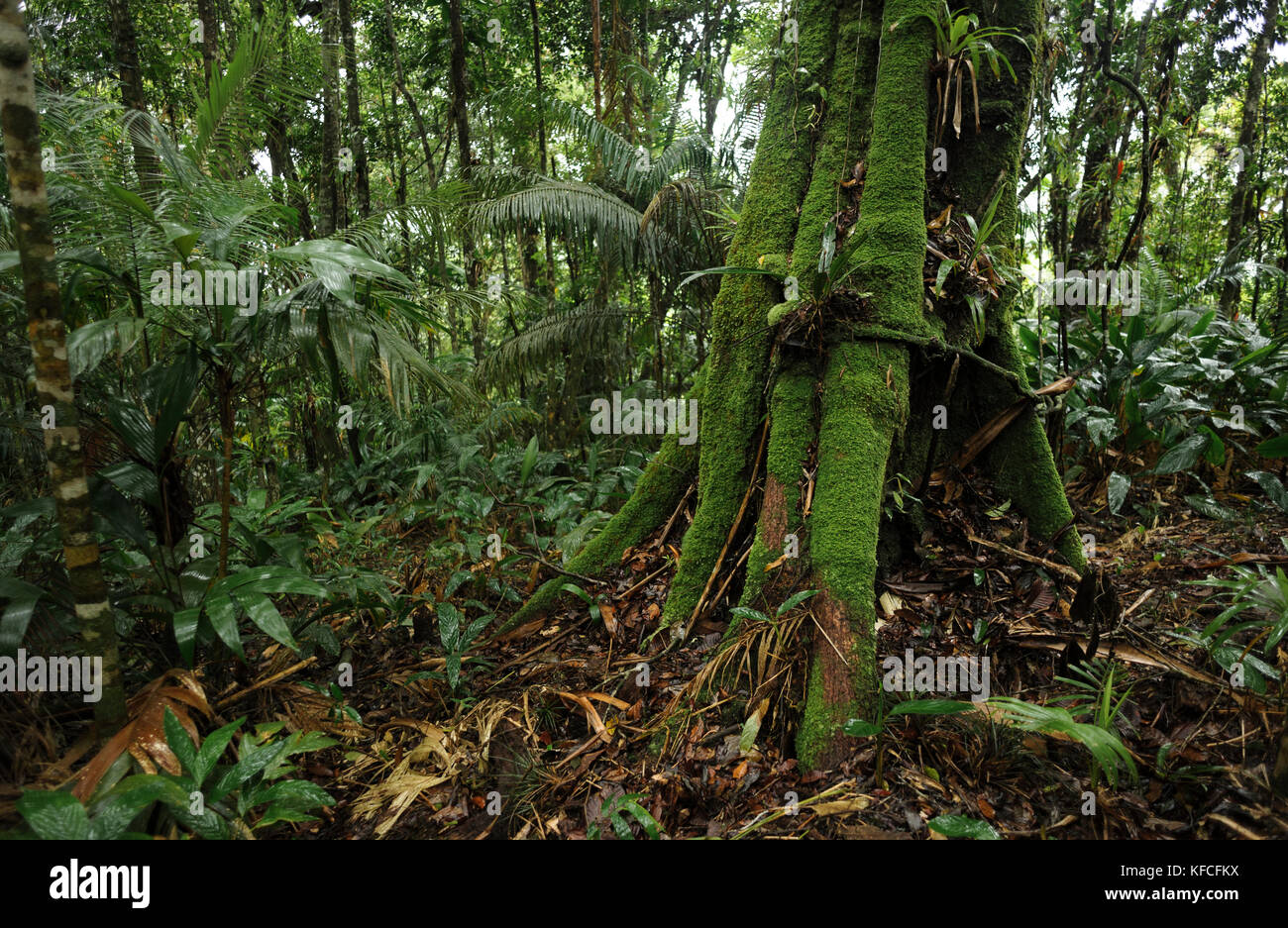 Atlantic Rainforest understory, SE Brazil - Stock Image