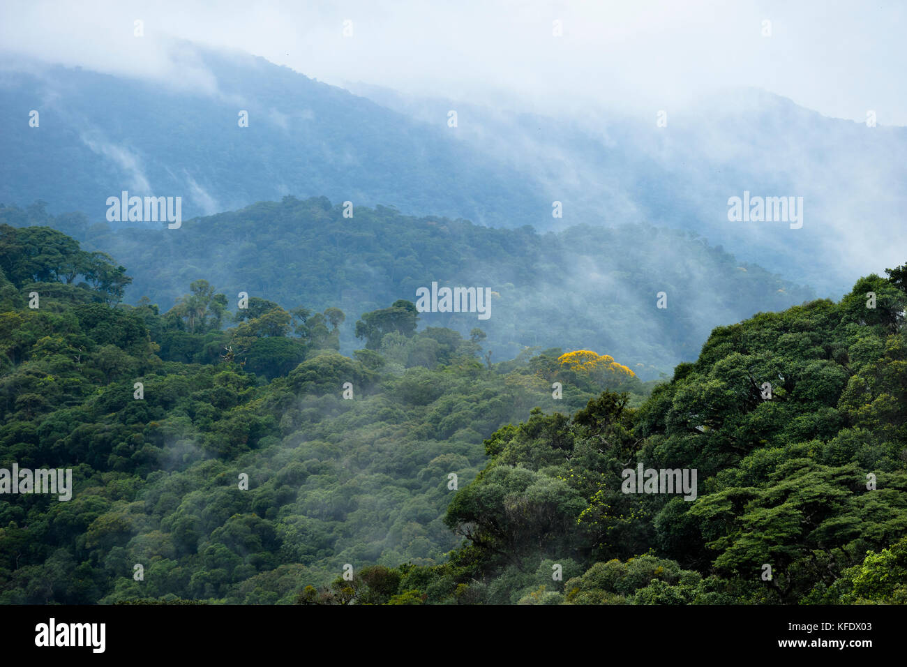 Primary Atlantic Rainforest from Serra de Paranapiacaba, SE Brazil - Stock Image