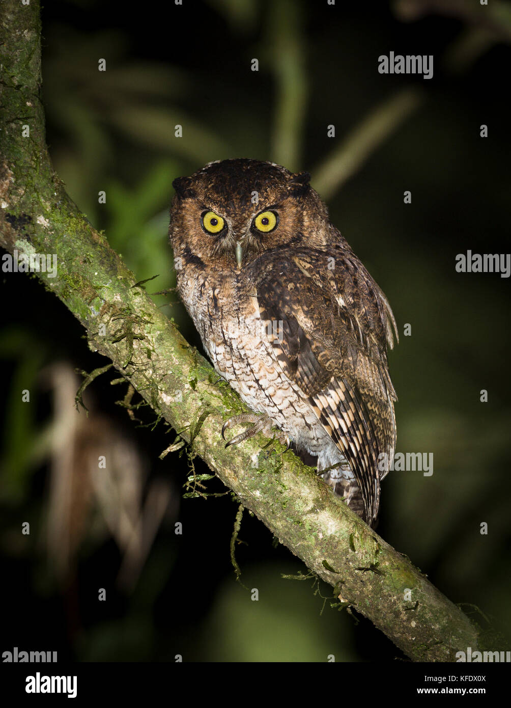 Black-capped Screech-Owl (Megascops atricapilla), endemic to the Atlantic Rainforest - Stock Image