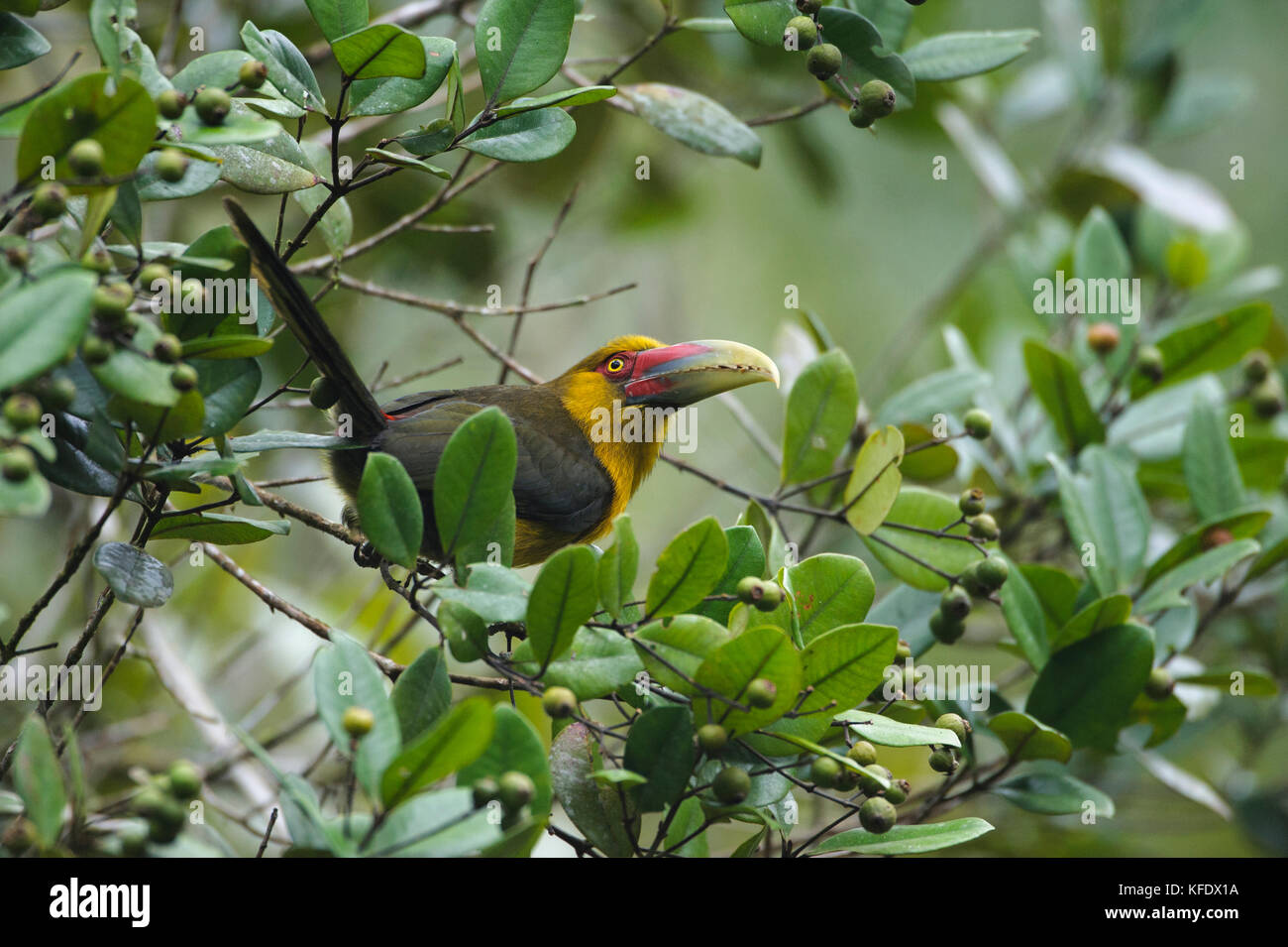 A Saffron Toucanet from the Atlantic Rainforest eating native fruits in the canopy - Stock Image
