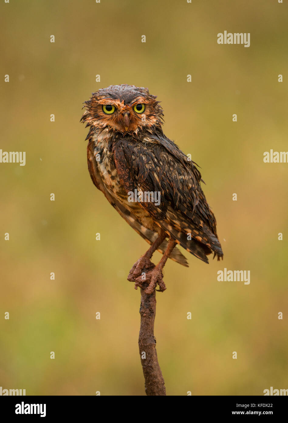 A muddy and soaking wet Burrowing Owl (Athene cunicularia) from Central Brazil - Stock Image
