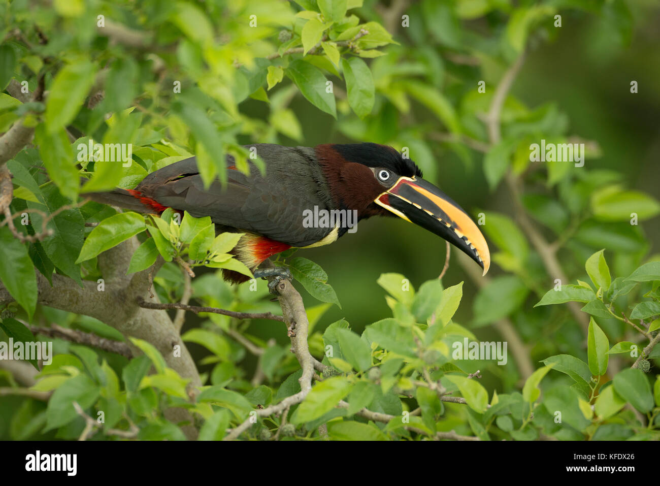 A Chestnut-eared Aracari from the Pantanal - Stock Image