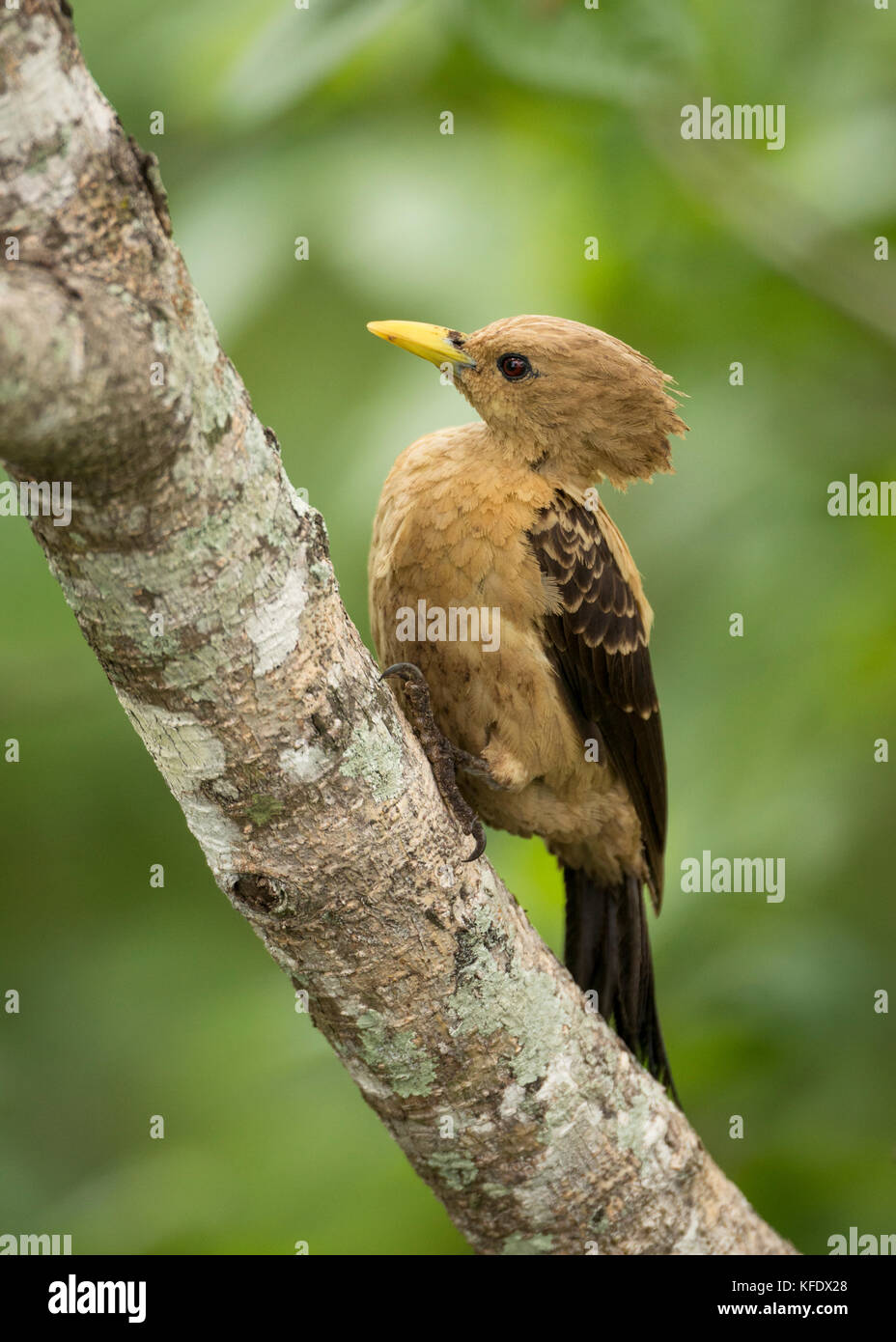 A female Cream-colored Woodpecker (Celeus flavus) from the Pantanal - Stock Image