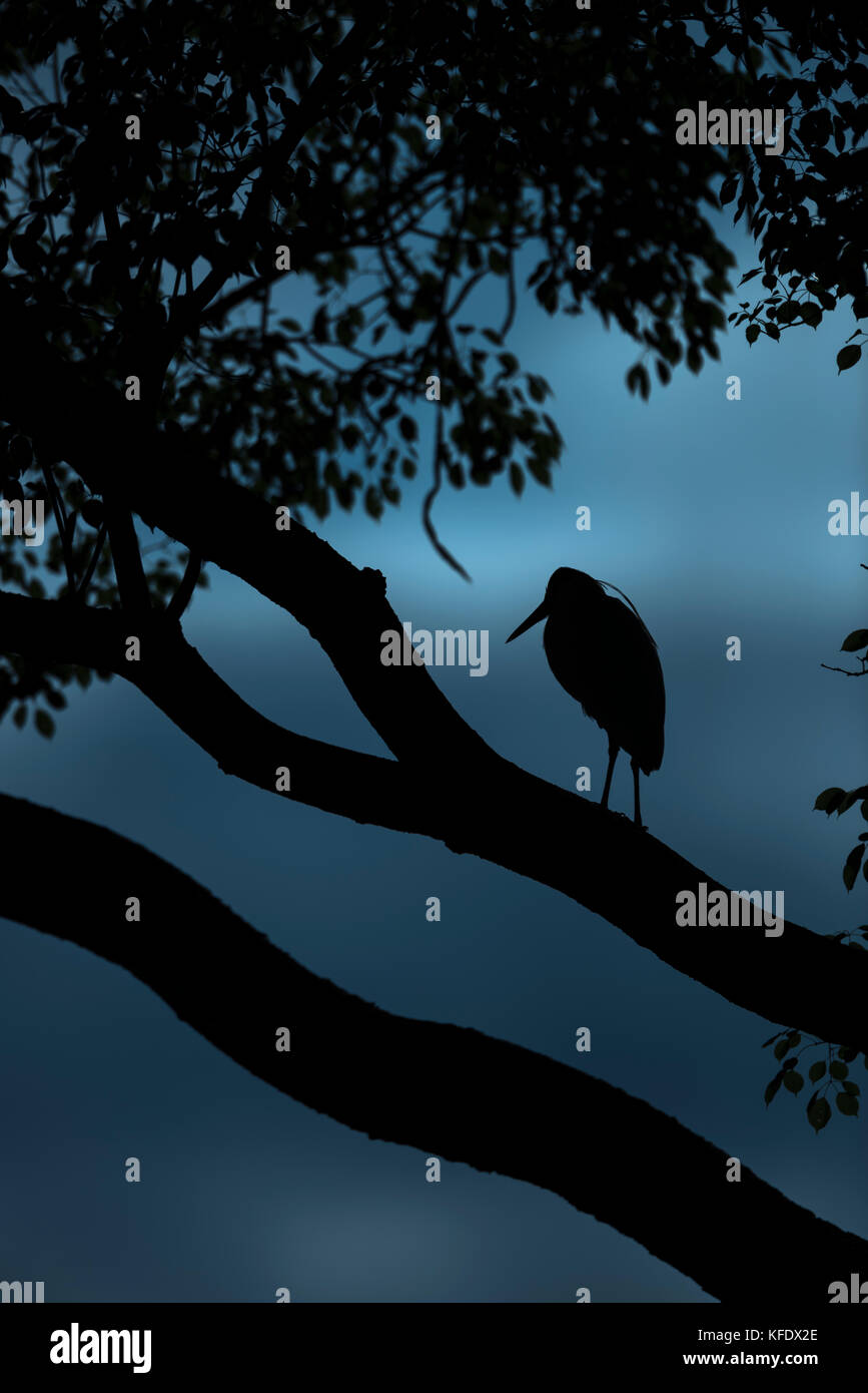 Nightall in the Pantanal, with a Capped Heron - Stock Image