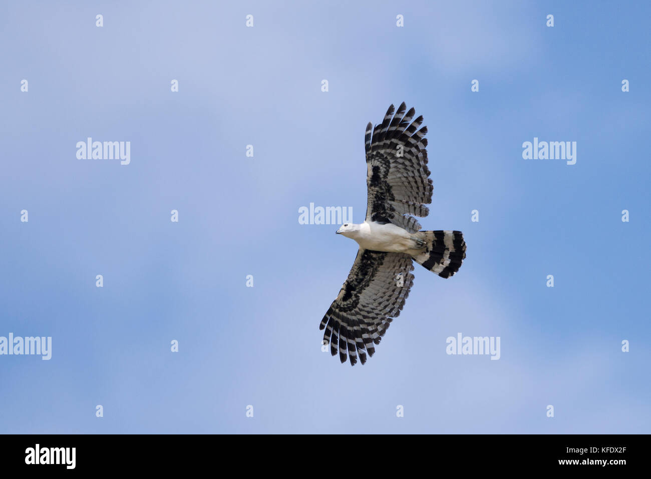 Gray-headed Kite (Leptodon cayanensis) flying in the Pantanal - Stock Image