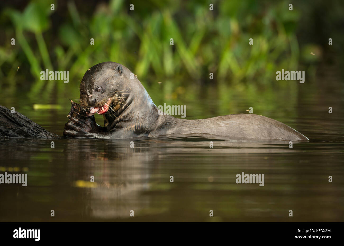 Giant Otter eating fish in the Pantanal - Stock Image