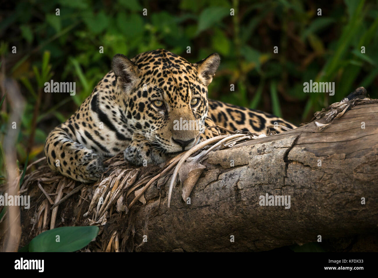 Jaguar resting on a dead tree in the Pantanal - Stock Image