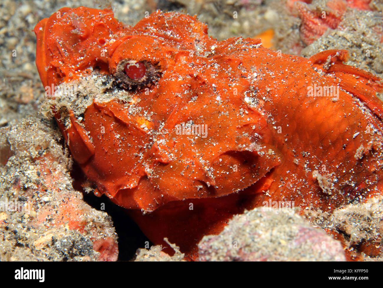 Humpback Scorpionfish (Scorpaenopsis macrochir, aka Flasher Scorpionfish, Rough Humpback Scorpionfish). Lembeh Strait, - Stock Image
