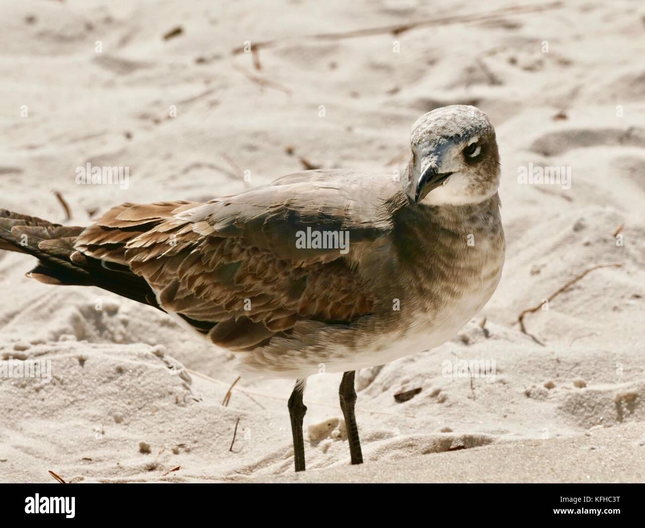 gull-at-beach-cedar-key-florida-usa-KFHC