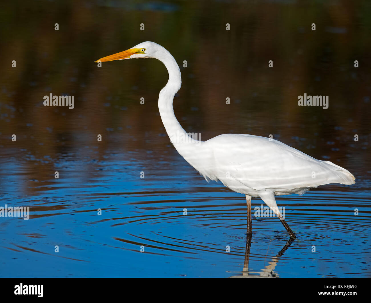 Great Egret - Stock Image