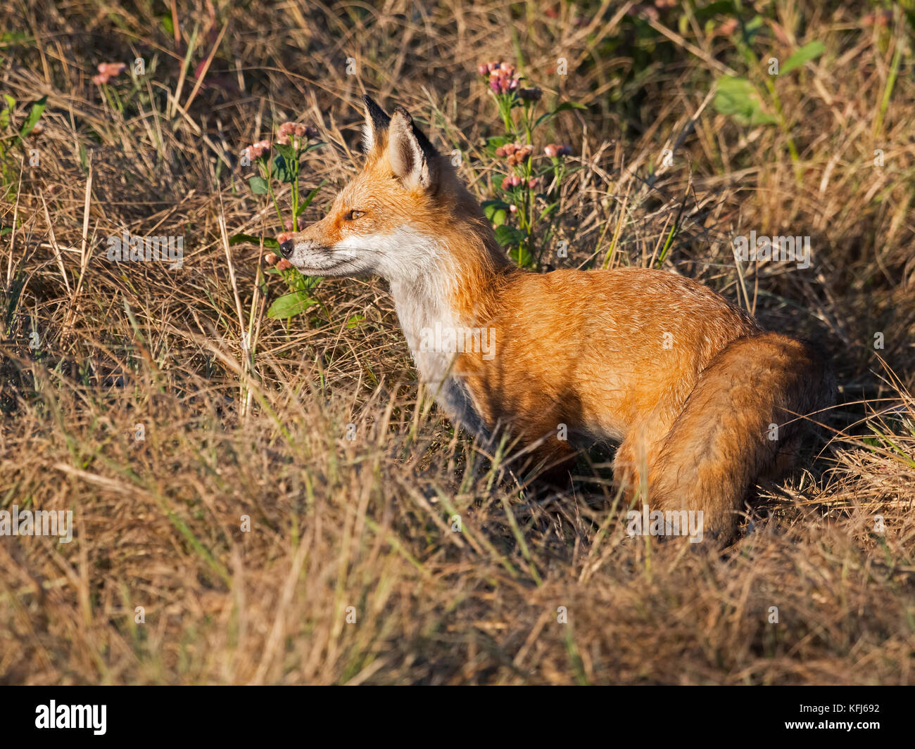 Red Fox - Stock Image