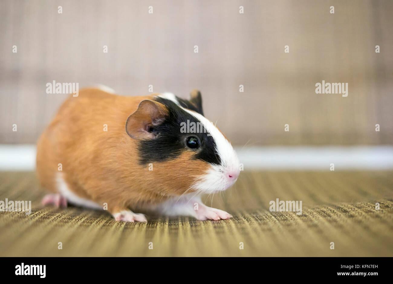 Portrait of a tricolor American Guinea Pig - Stock Image