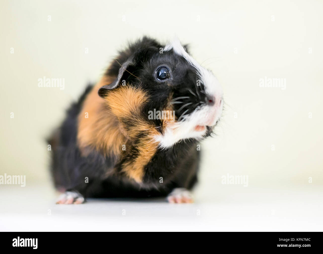Portrait of a tricolor Abyssinian guinea pig - Stock Image