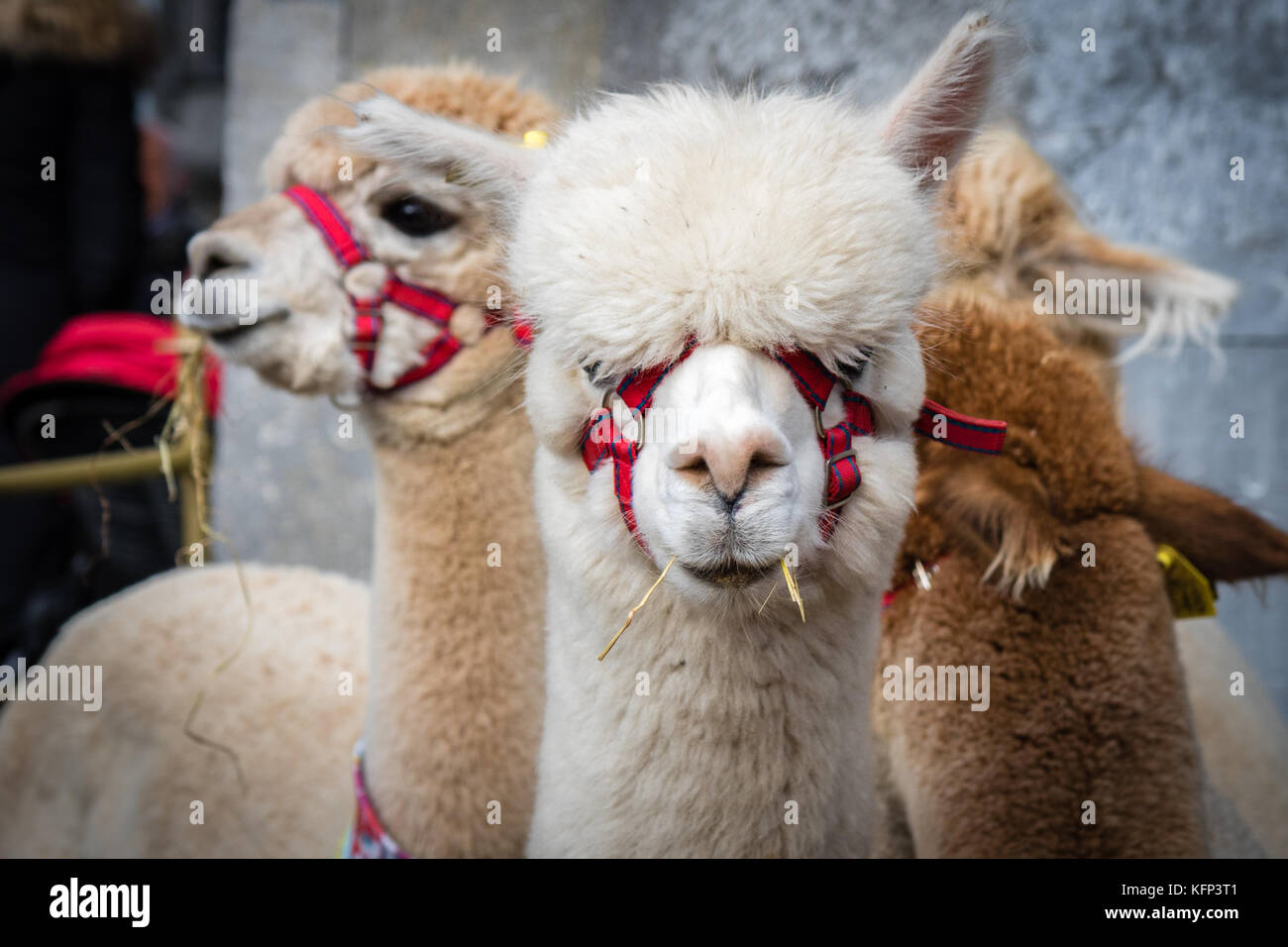 The Alpacas created alot of interest on show at Savour Kilkenny Food Festival, Kilkenny, ireland 27th and 28th October - Stock Image