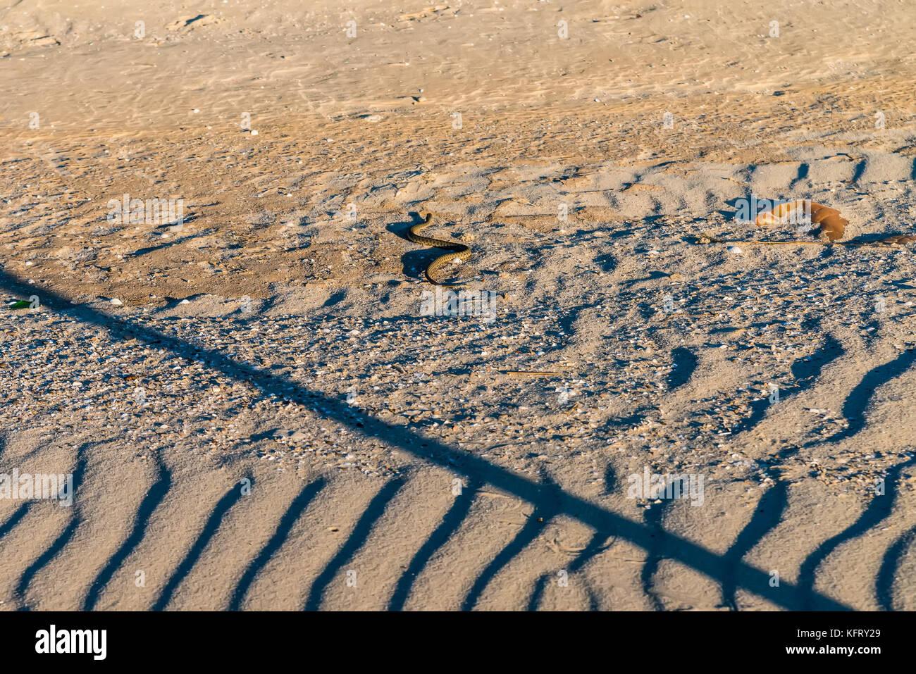 Dice snake or Natrix tessellata on sand - Stock Image