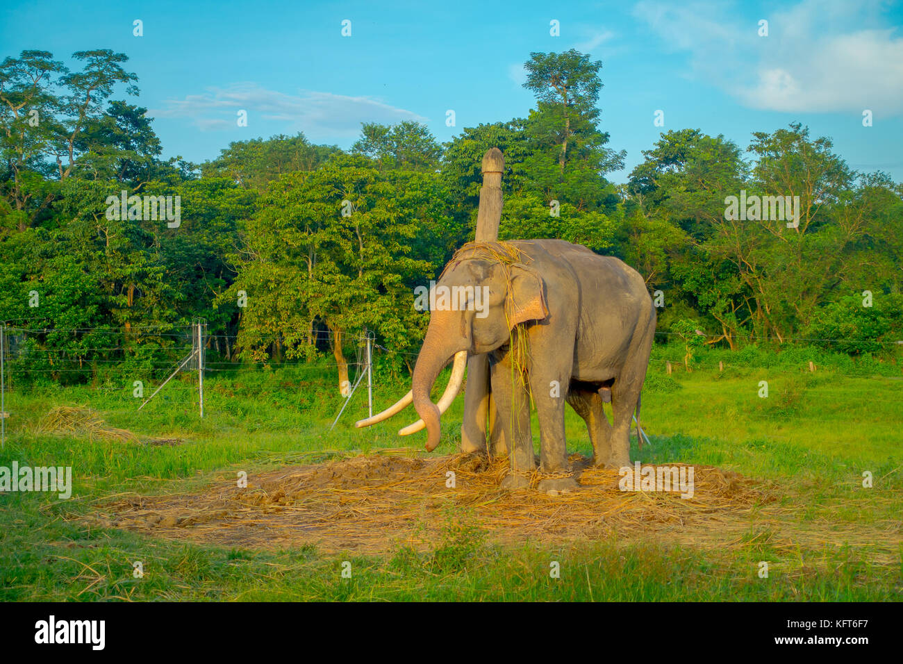 Beautiful sad elephant chained in a wooden pillar at outdoors, in Chitwan National Park, Nepal, sad paquiderm in - Stock Image