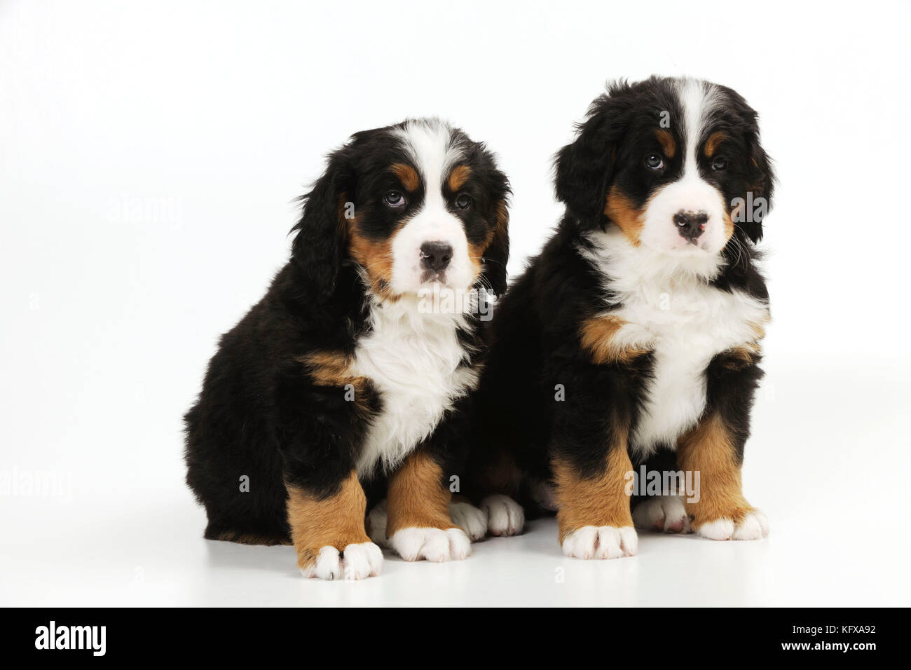 Bernese Mountain Dog Puppy Full Page Picture