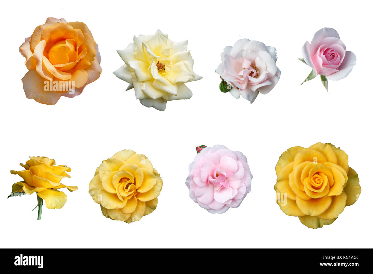 Multicolored isolated beautiful roses on a white background - Stock Image