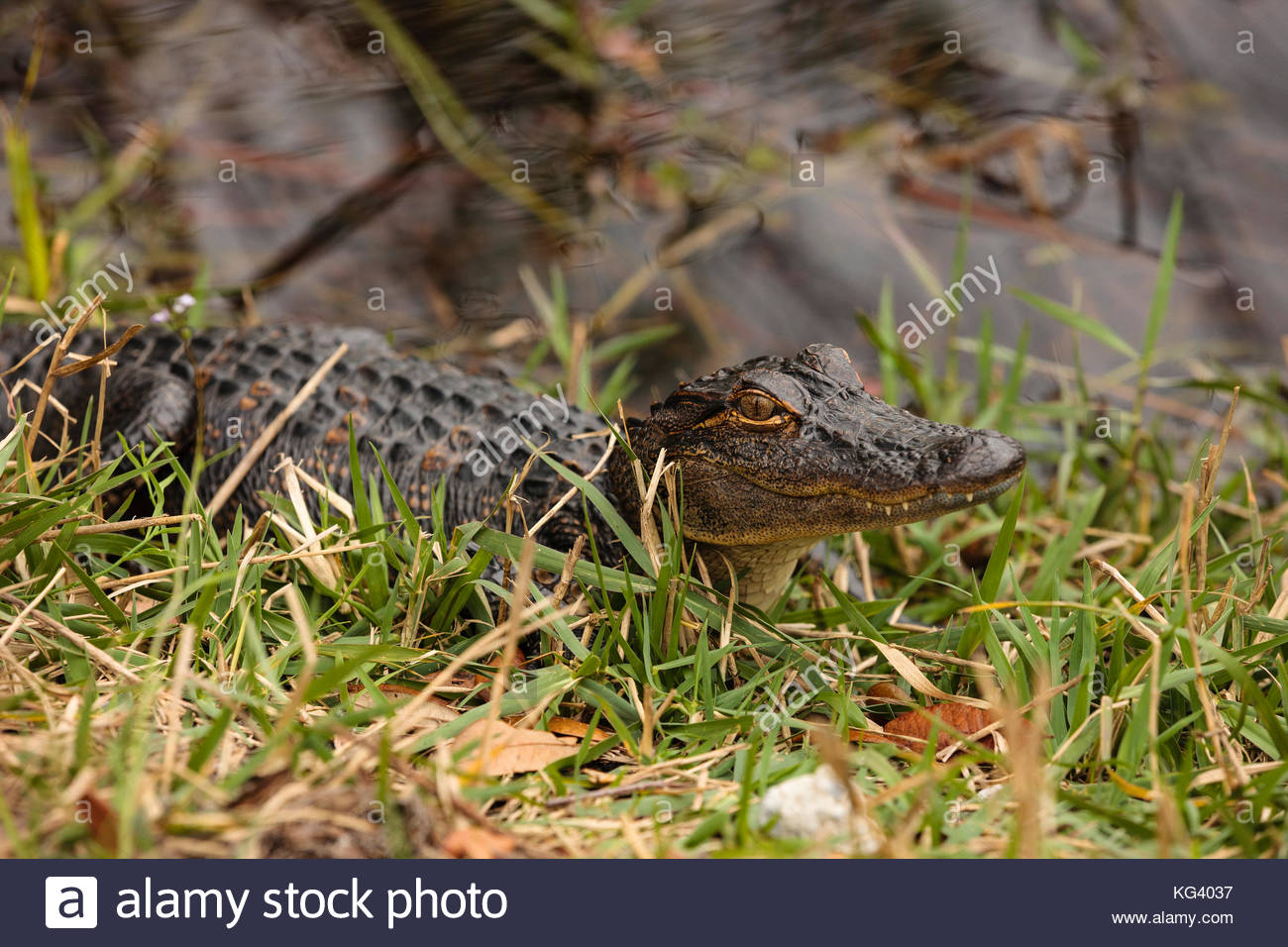 american alligator essay Alligator calls are heard and the water vibrates from the sounds american crocodiles and alligators this is an informative video from national geographic about alligators and crocodiles that live in the everglades.