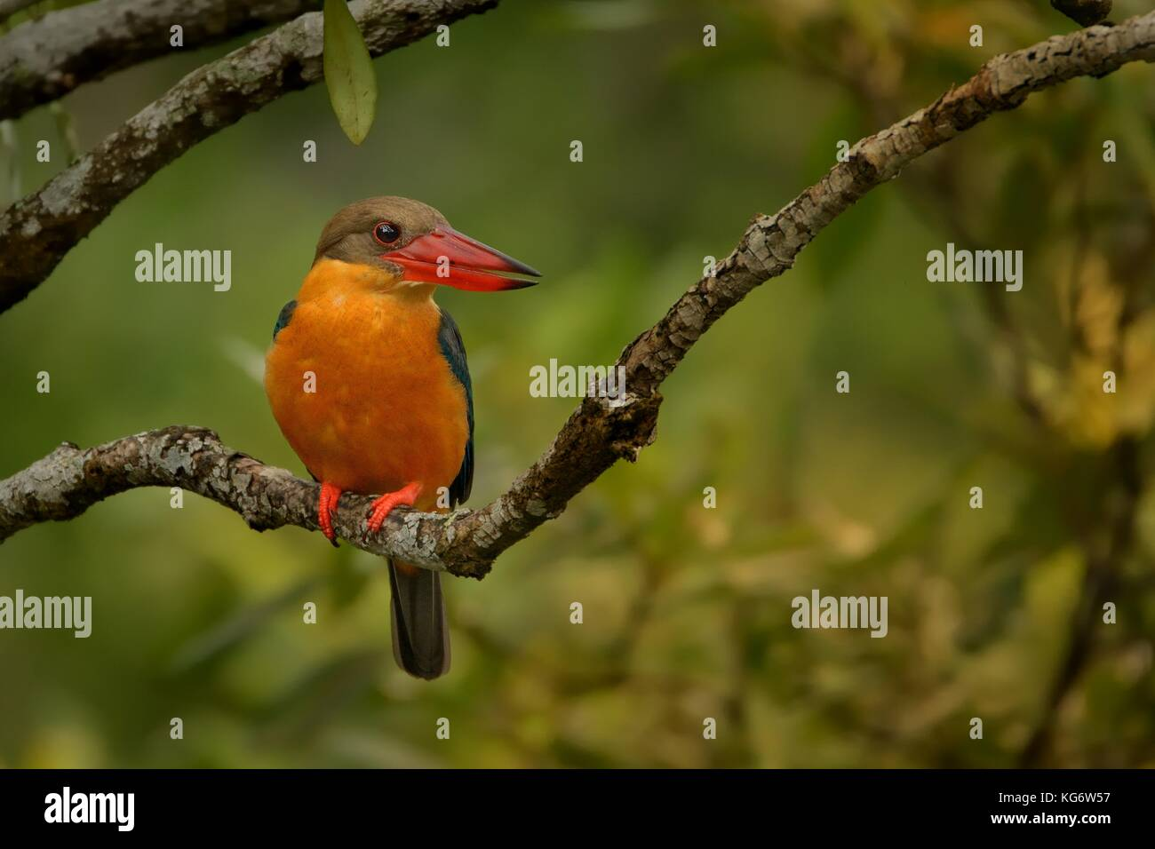 Stork-billed Kingfisher (Pelargopsis capensis) on the branch in Singapore - Stock Image