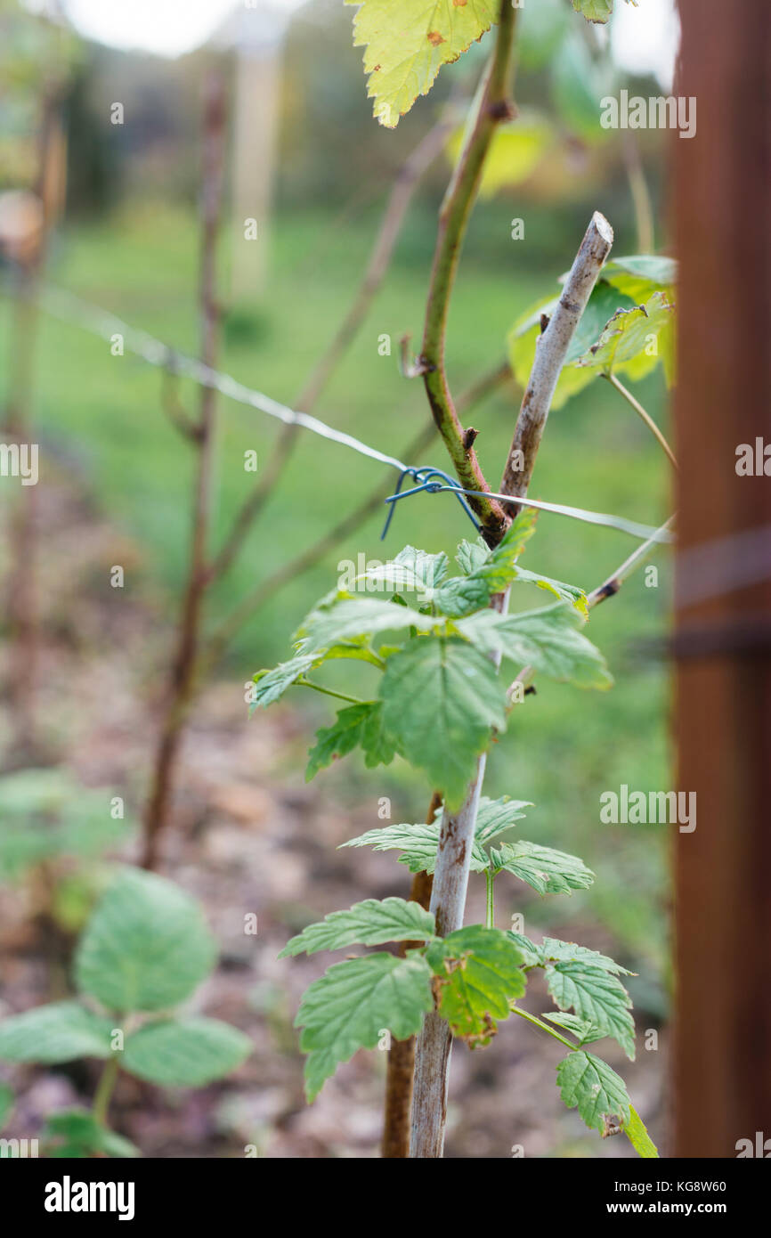 Pruned raspberry canes tied in to a wire in a vegetable garden. - Stock Image