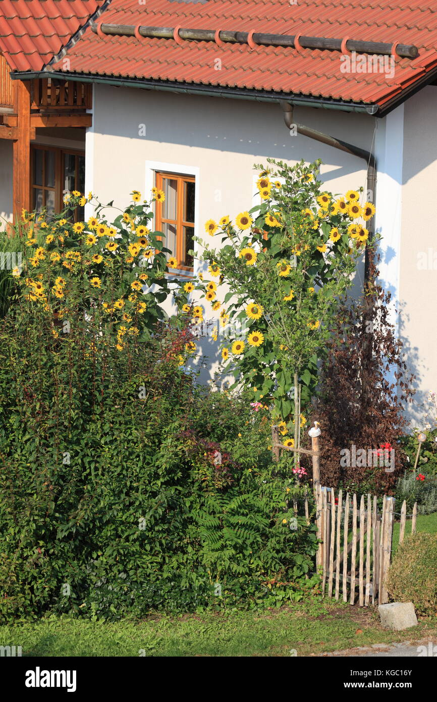 tall blooming sunflowers in garden in front of building. Photo by Willy Matheisl - Stock Image