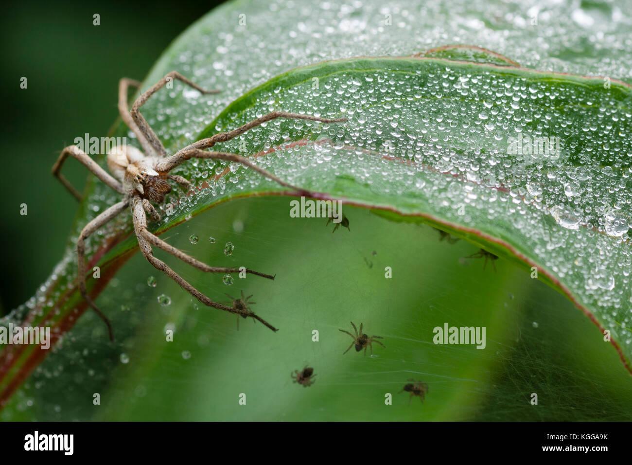 adult-female-nursery-web-spider-pisaura-mirabilis-sitting-on-the-web-KGGA9K.jpg