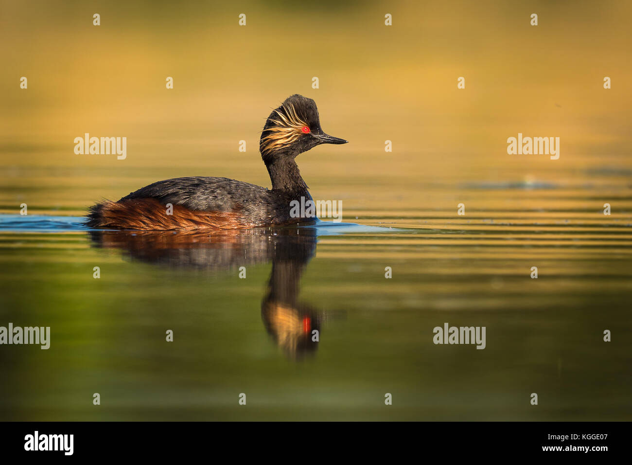 Eared Grebe - Podiceps nigricollis swimming in the water in the morning sunlight - Stock Image