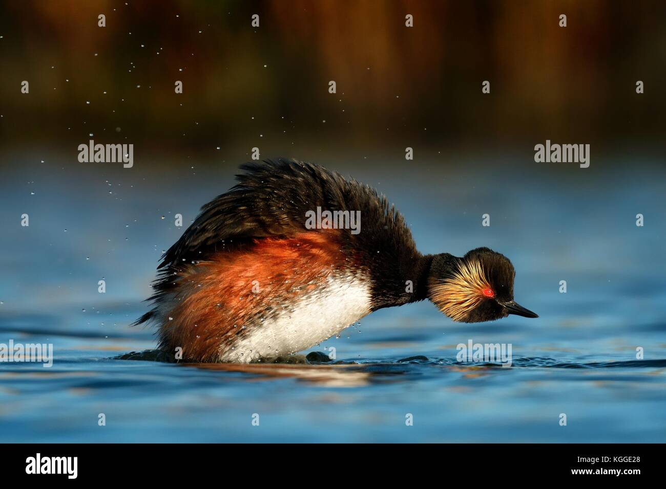 Eared Grebe - Podiceps nigricollis swimming in the water taking the bath in the morning sunlight - Stock Image