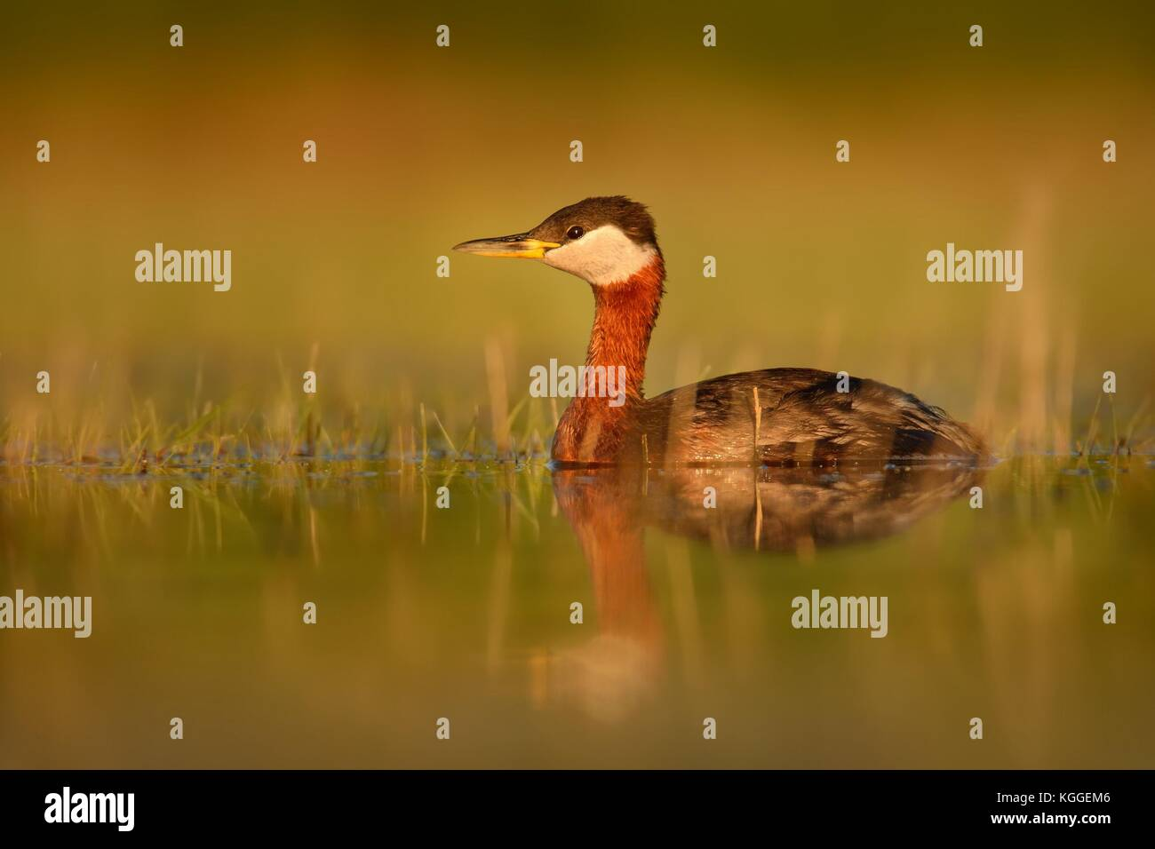 Red-necked Grebe (Podiceps grisegena) on the lake in spring enlightened by evening sun. Beautiful moment. - Stock Image
