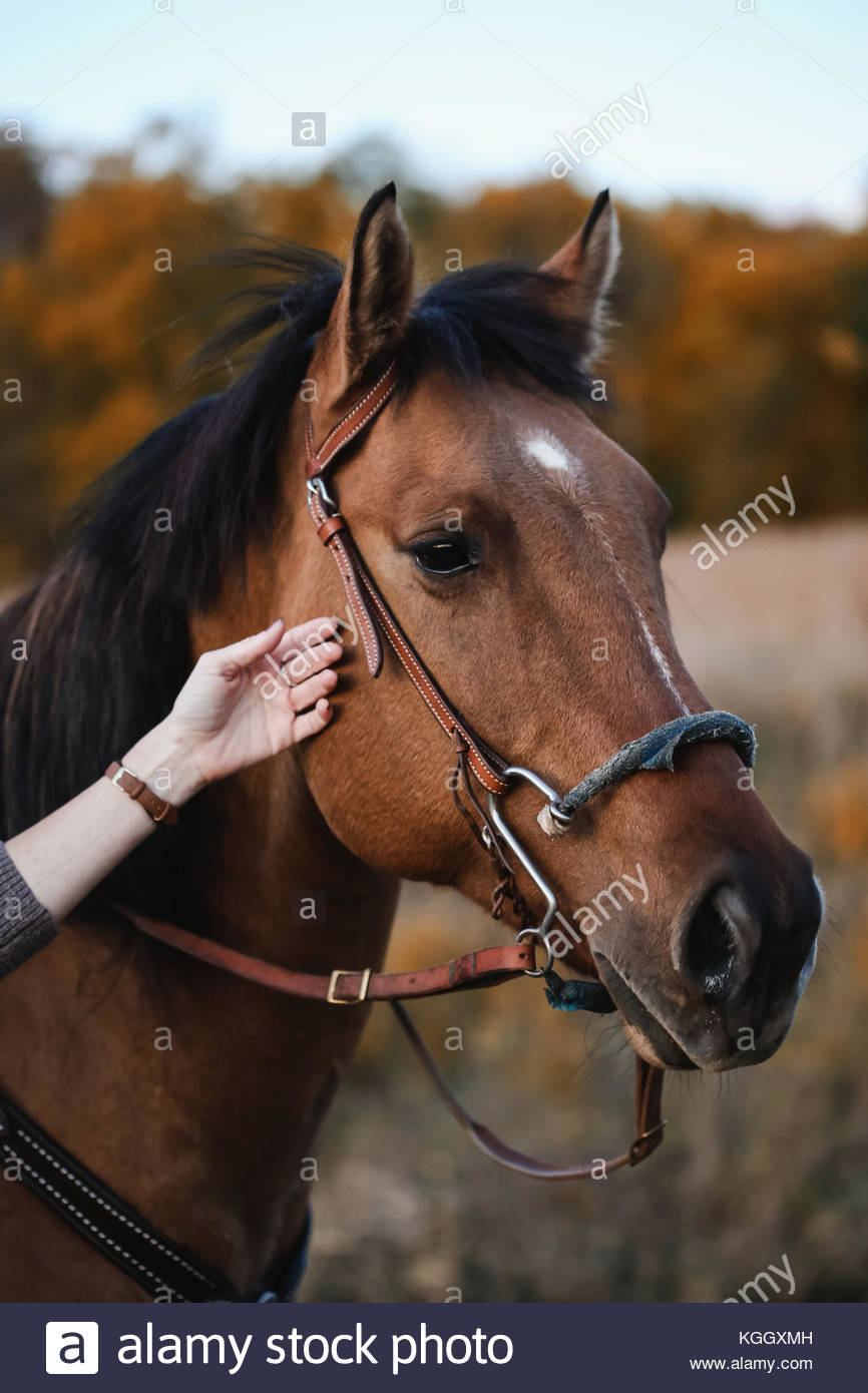 Horse being petted by a woman's hand - Stock Image
