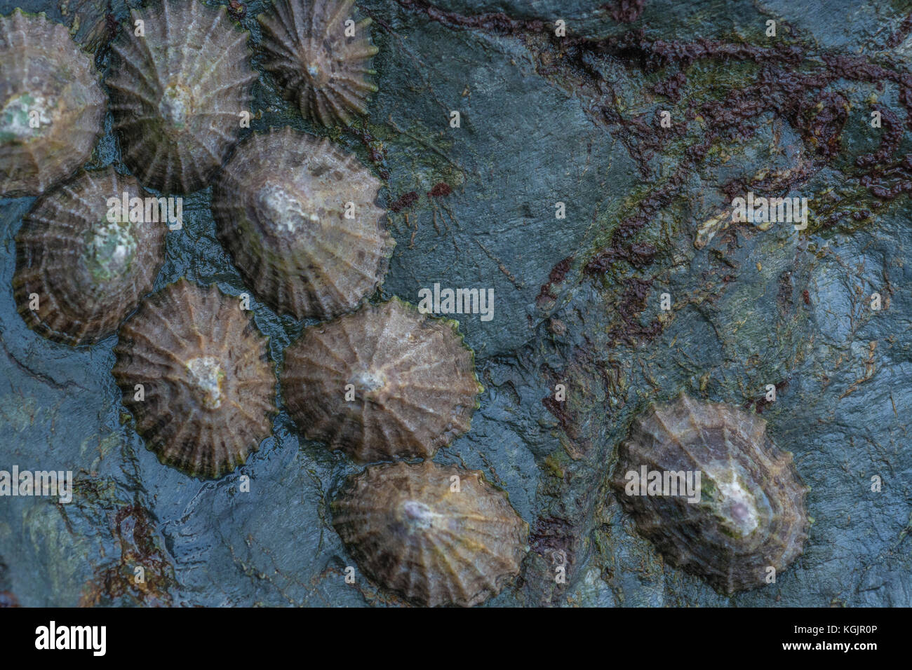 Cluster of Common Limpets (Patella vulgata) on a rocky outcrop at low tide. Limpets are an edible shellfish - more - Stock Image
