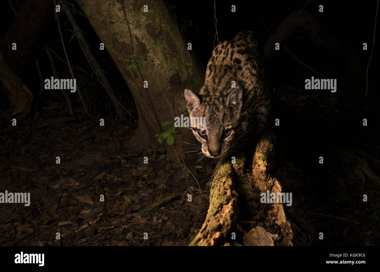 Ocelot from the Pantanal, Brazil - Stock Image