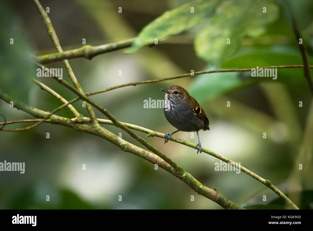 A Star-throated Antwren (Myrmotherula gularis) - Stock Image