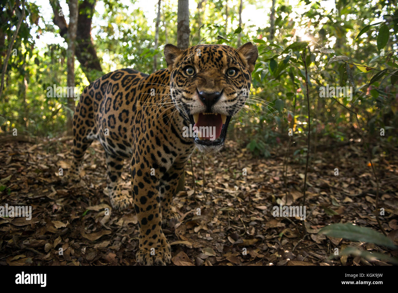 A Jaguar inside a forest in central Brazil - Stock Image