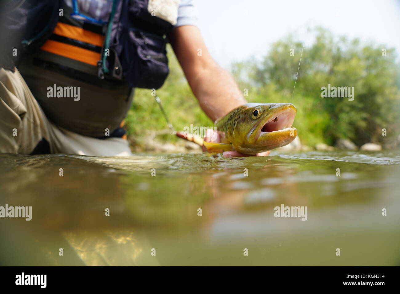 Fly fisherman catching brown trout in river - Stock Image