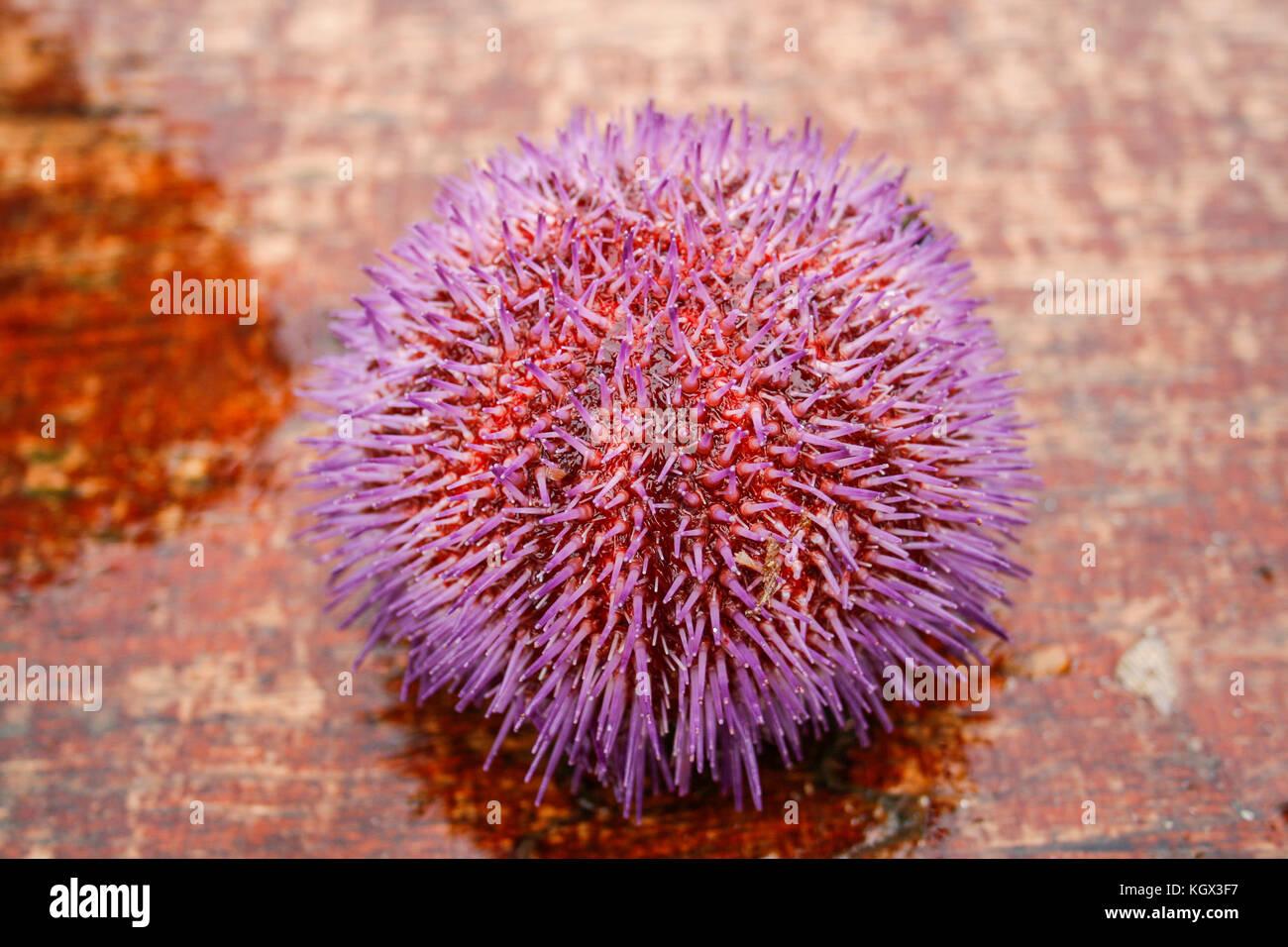 blue sea urchin stock photos amp blue sea urchin stock