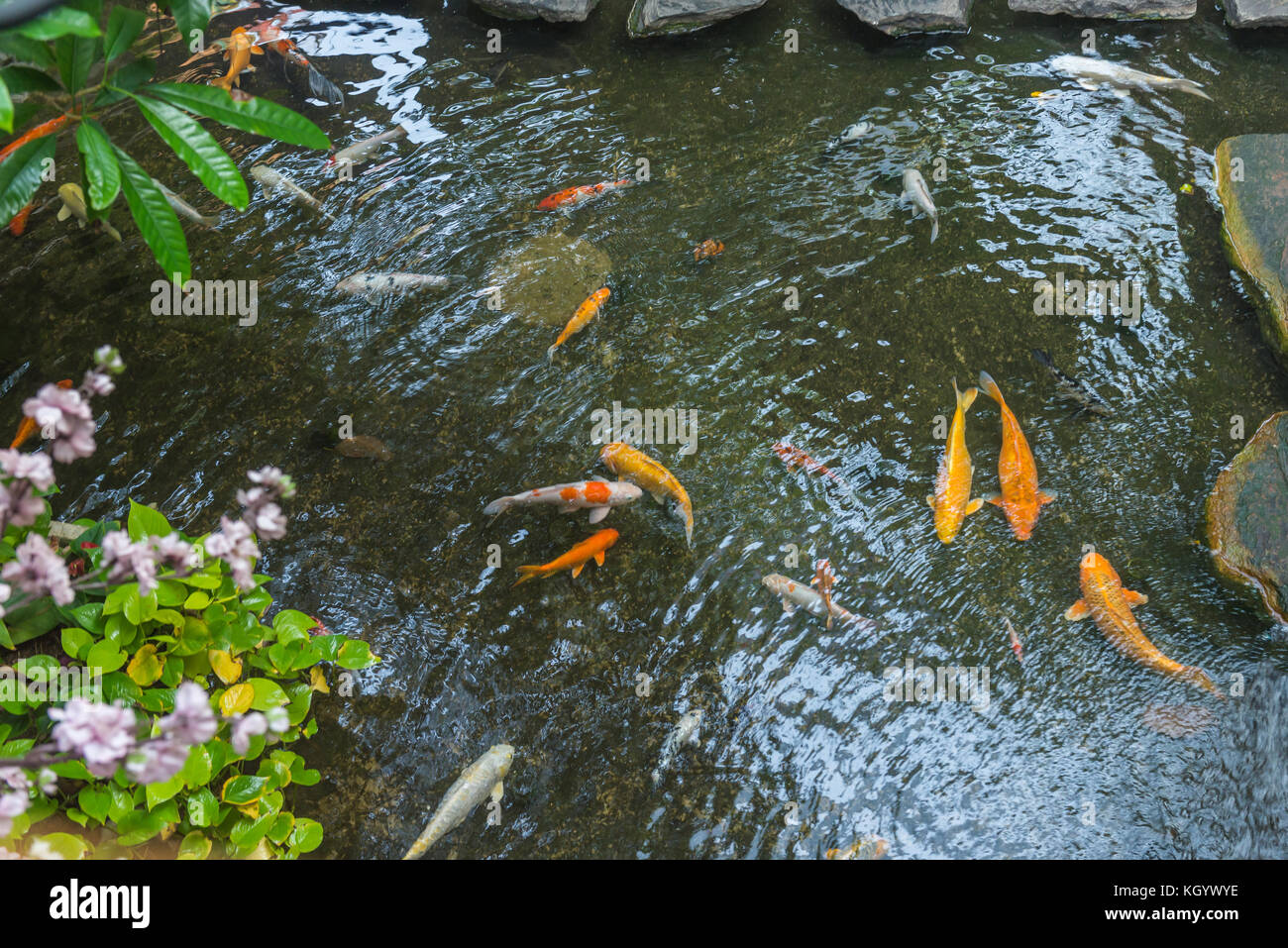 Koi fish pond lake water japan stock photos koi fish for Colorful pond fish
