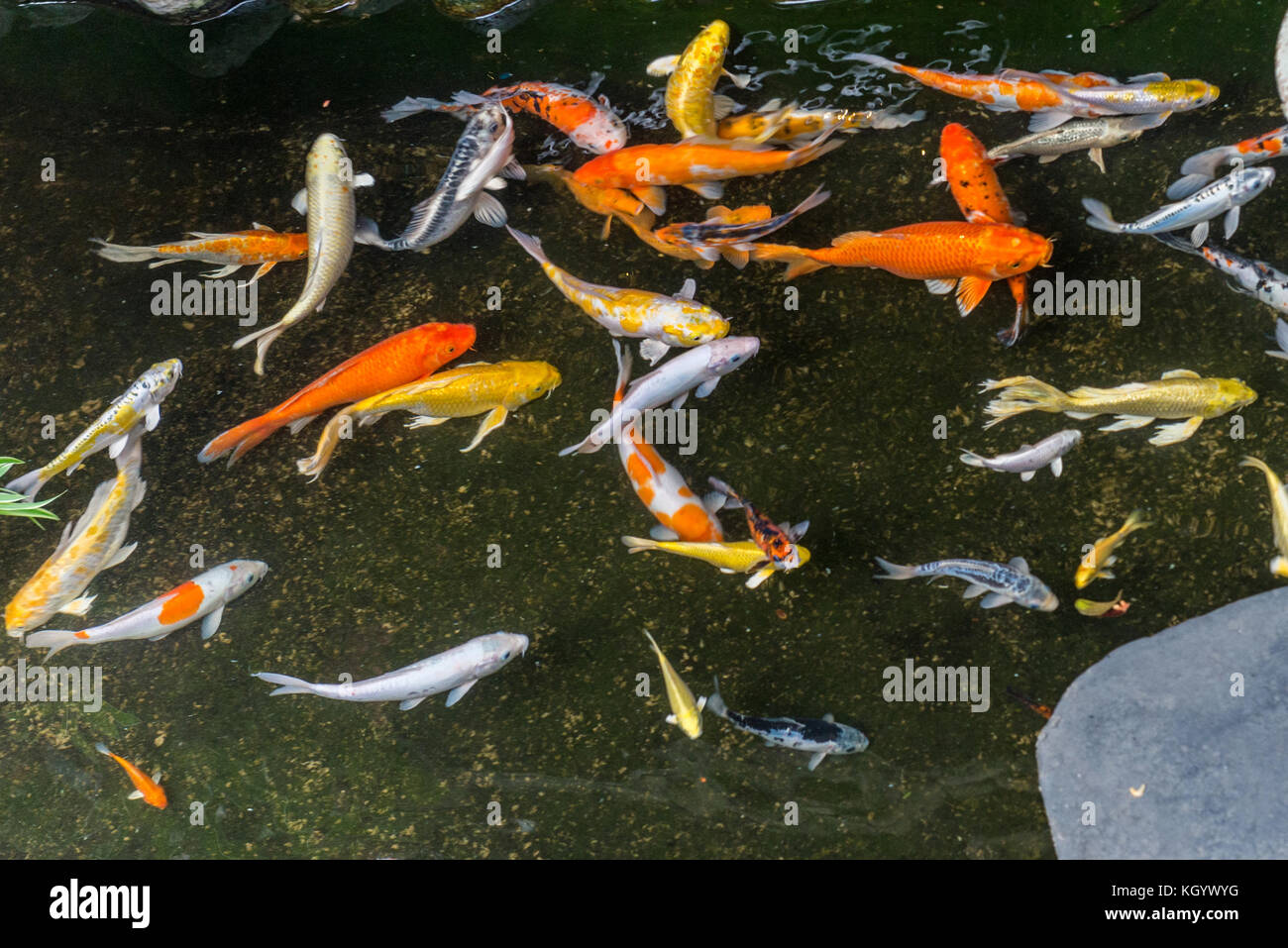 Japanese koi fish stock photos japanese koi fish stock for Koi carp colours