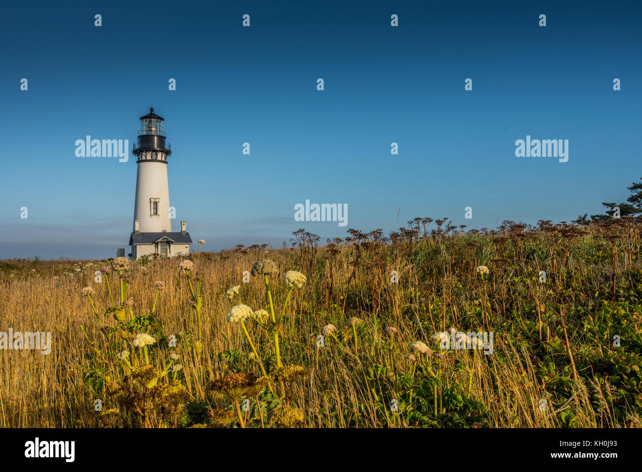 Yaquina Head Lighthouse Sits in Field of Wild Flowers along Oregon coast - Stock Image