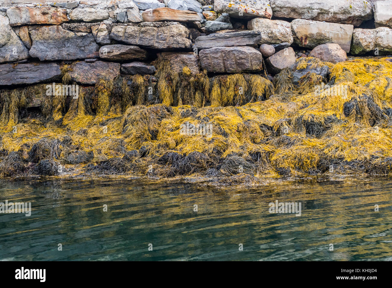 Yellow Seaweed At Low Tide along Maine coast in autumn - Stock Image