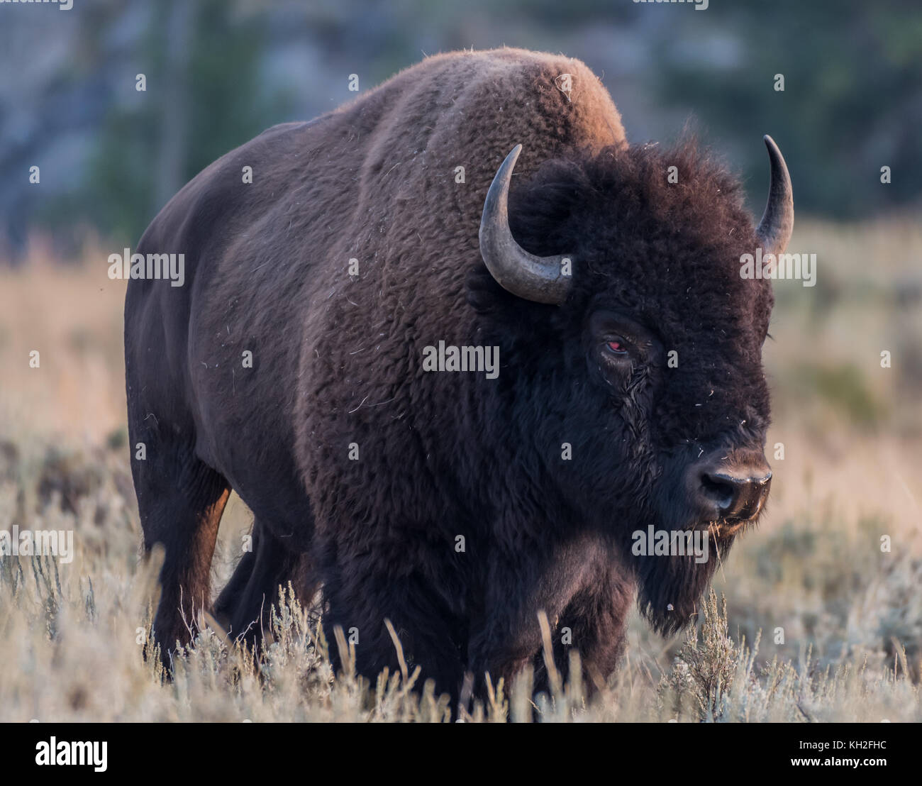 American Bison with Injured Eye in Yellowstone - Stock Image