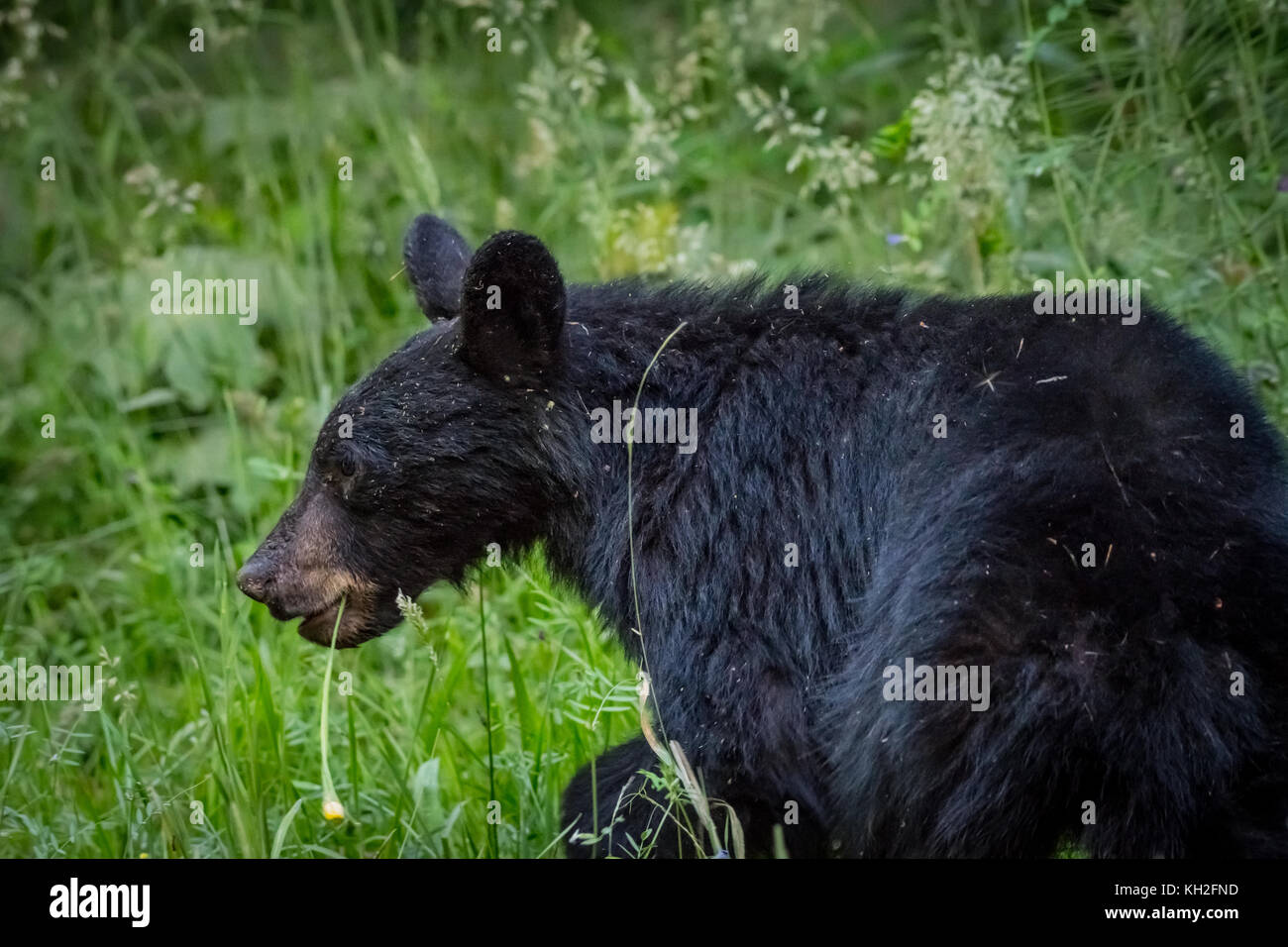 Black Bear Walks Through Thick Grass in forest clearing - Stock Image