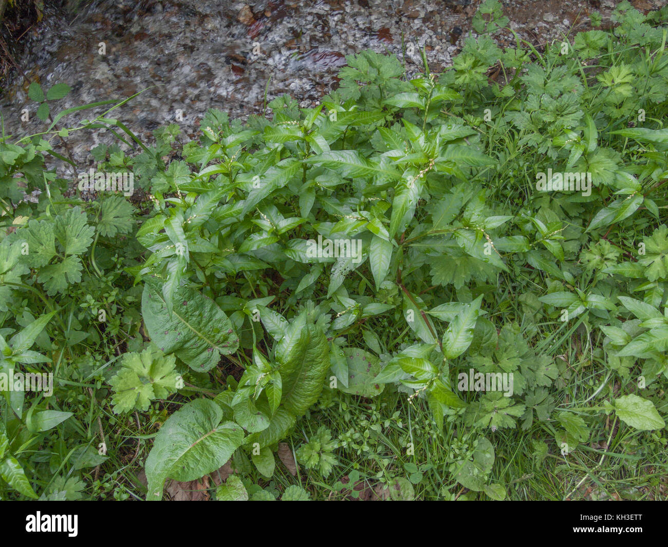 Specimen of Water Pepper (Polygonum hydropiper) prior to flowers opening. - Stock Image