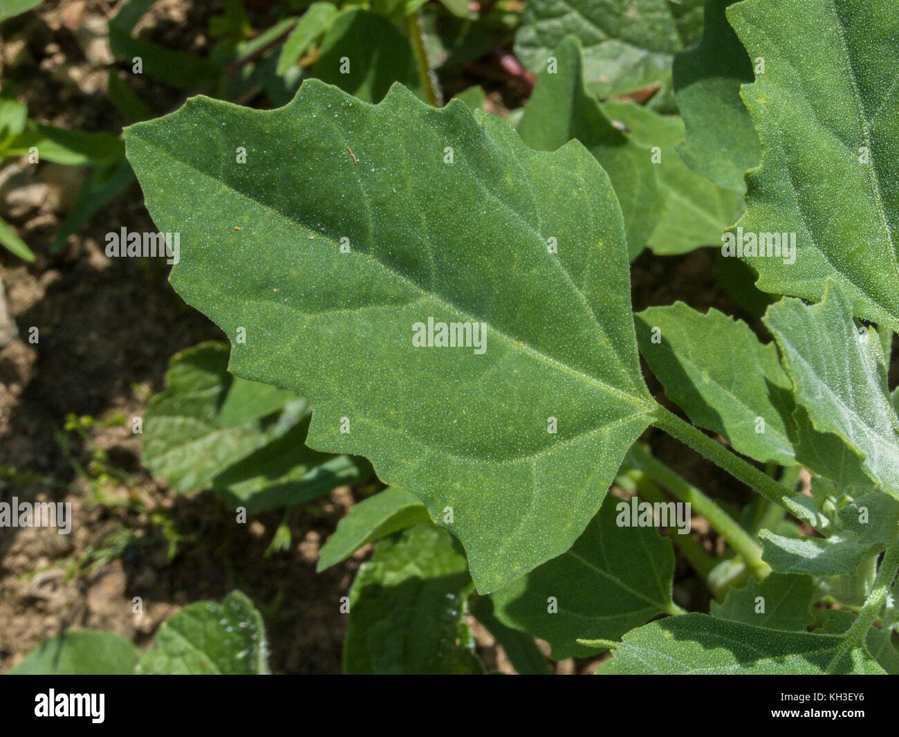 Foliage of Fat-Het (Chenopodium album) - an agricultural weed that is edible and was once regularly used as food. - Stock Image