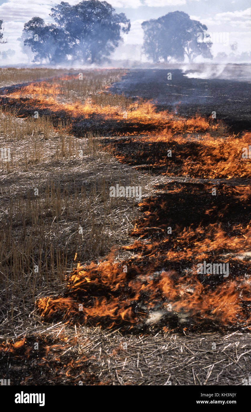 Cereal crop stubble burning - Stock Image