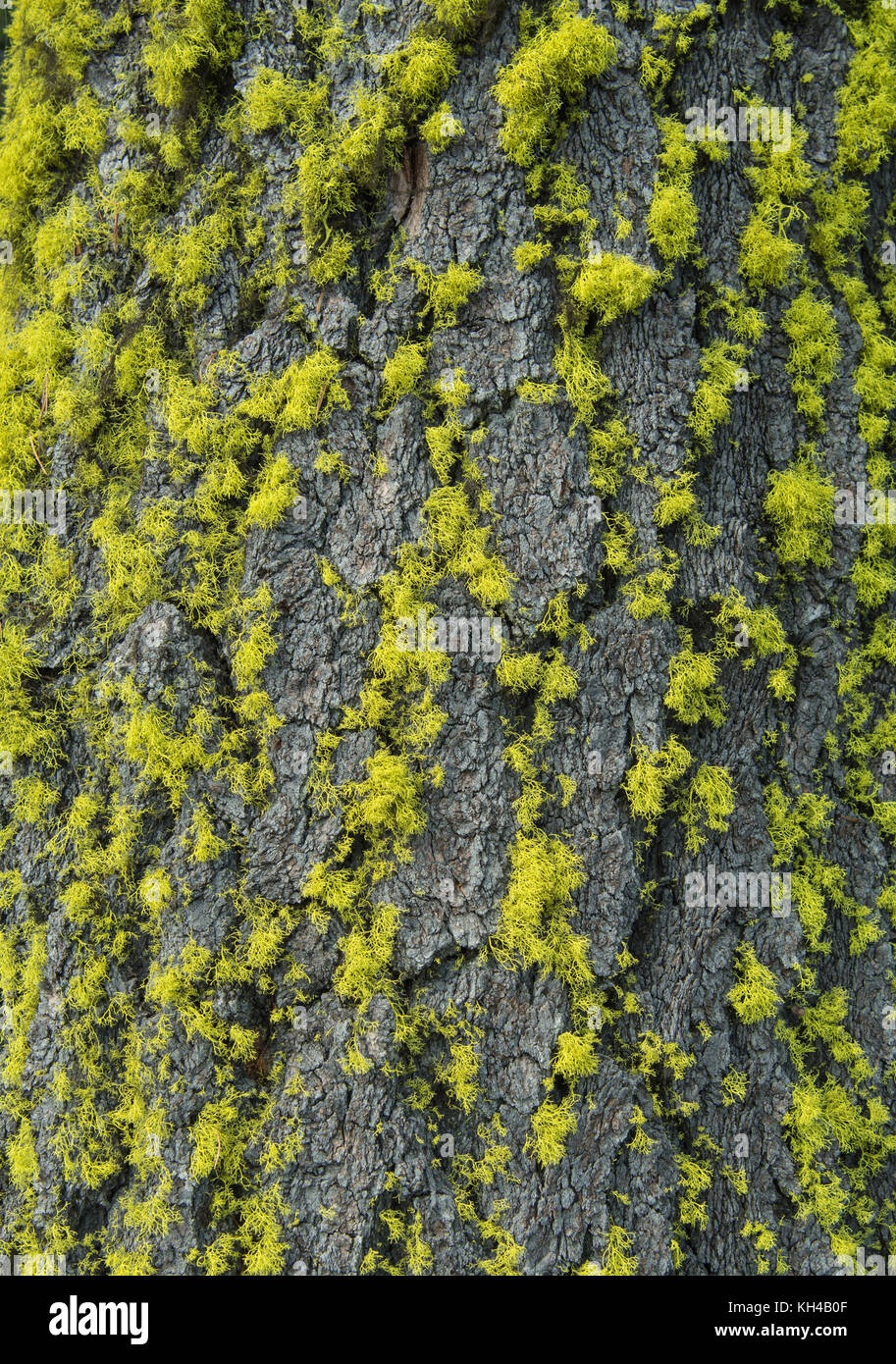 Bright Green Moss Clings to Bark of Tree - Stock Image