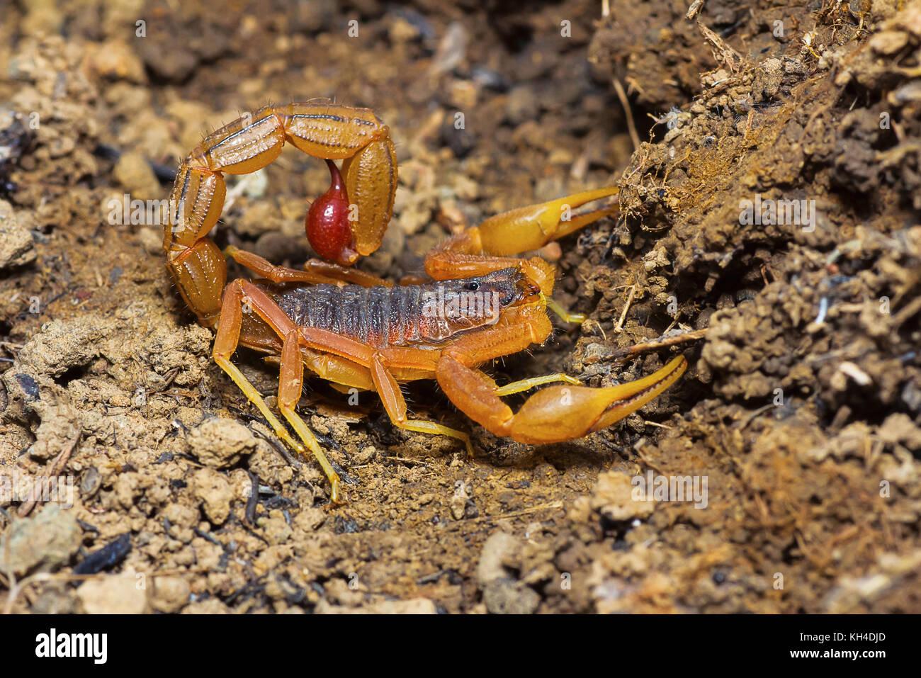 Scorpion Tail Stock Photos & Scorpion Tail Stock Images ... - photo#35