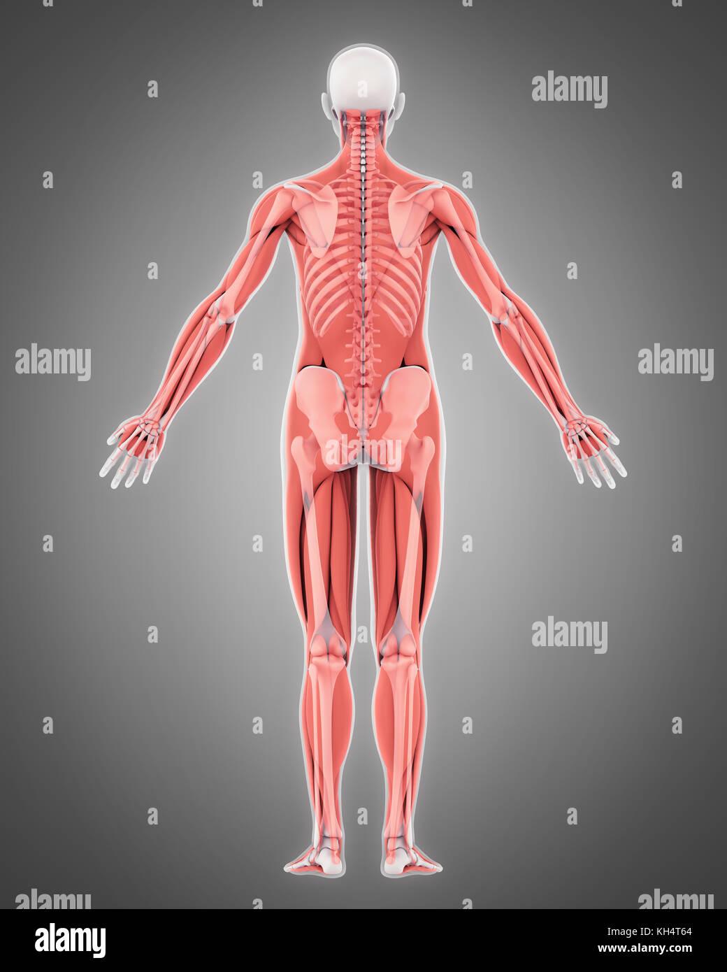 Abdominal muscular anatomy
